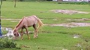 The stray horse that went amok biting several people in Phulia colony. Picture NfN