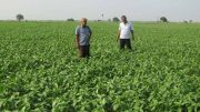 The busy hybrid mustard plants in Nadia