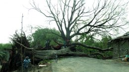 A Pakur tree uprooted due to hailstorm on Karimpur-Domkol road blocking traffic movement.