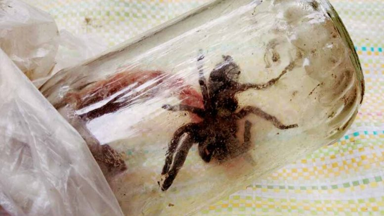 The tarantula kept inside a glass made bottle