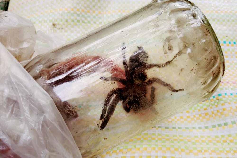 The tarantula kept inside a glass made bottle