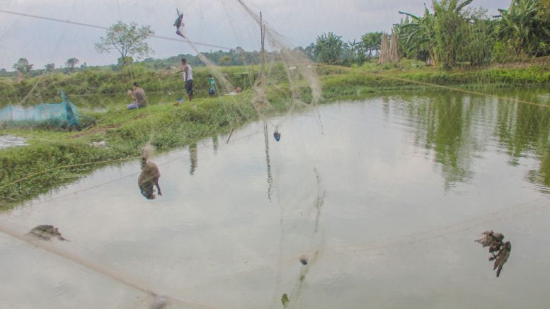 Dead birds entangled with fishing-net hanging over a pond in Santipur.