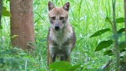The jackal that attacked the villagers