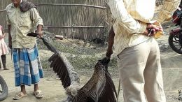 The injured griffon vulture being taken away