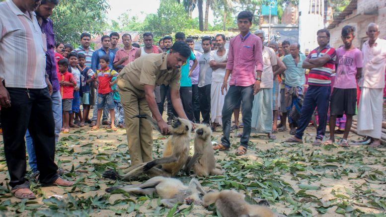 An official of state forest department examining body of langur in Santipur
